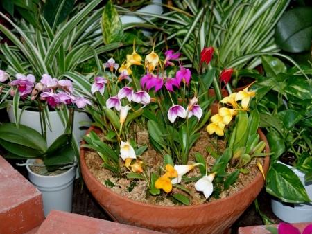 tnH25-12-15ハーブ庭園の胡蝶蘭とシンビジウム (4)