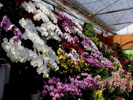 tnH25-12-15ハーブ庭園の胡蝶蘭とシンビジウム (2)