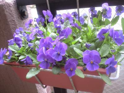 100327紫ビオラ