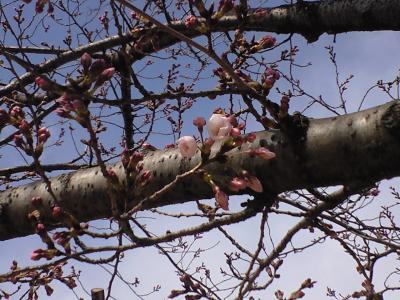 100329桜