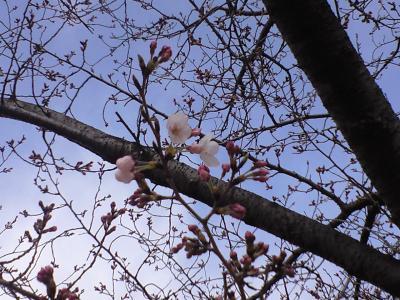 100329桜2