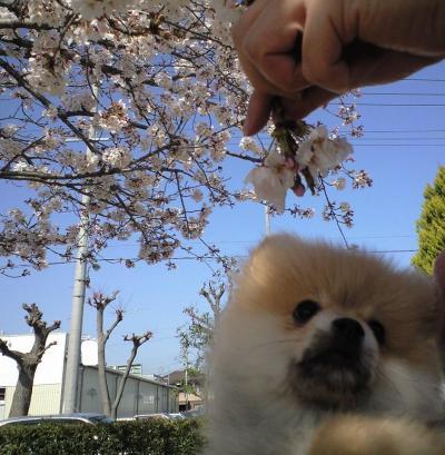100404_シナモンと桜