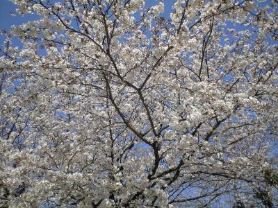 100404桜満開