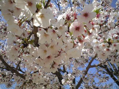 100409桜