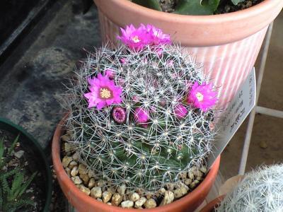 100527サボテンの花