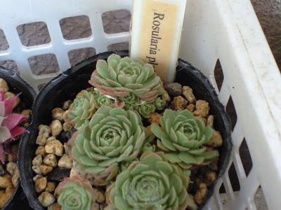 100803Rosularia platyphylla
