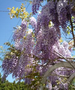 wisteria_110512_05_250