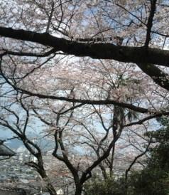 ohanami-sakura
