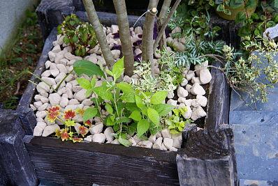 0721-5シマトネリコ根締植栽