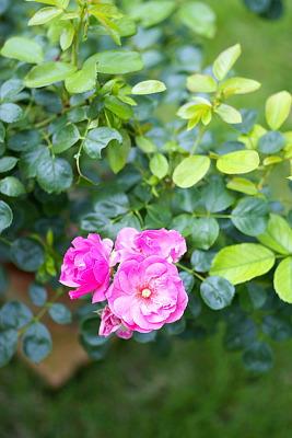 0715-7バラ三番花