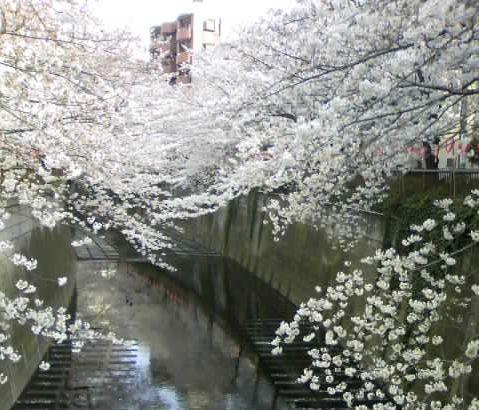 目黒川べりの桜(2)