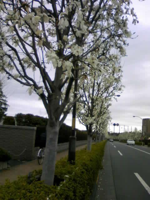 ハクモクレンの並木