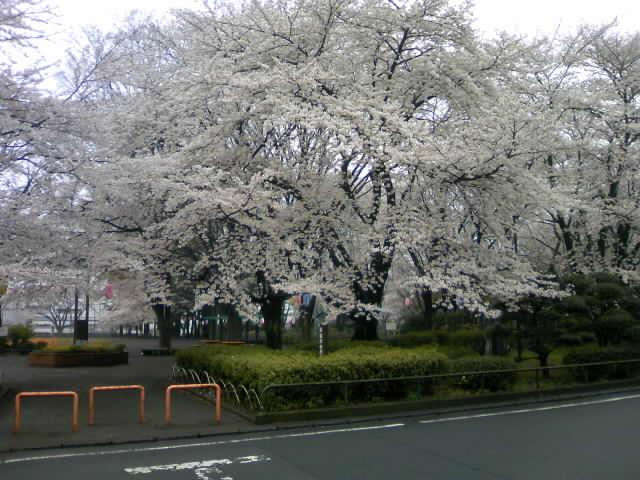 大きな桜がある公園