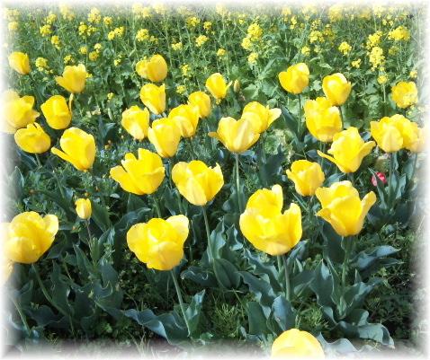 チューリップ再開花