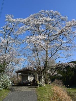 桜201301