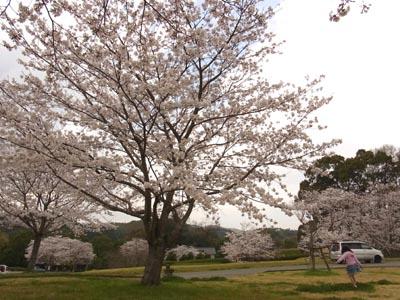 桜201302