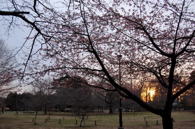 夕日と河津桜1