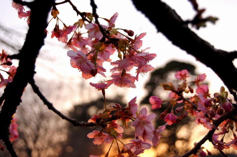 夕日と河津桜2