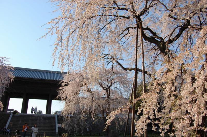 東郷寺枝垂桜16