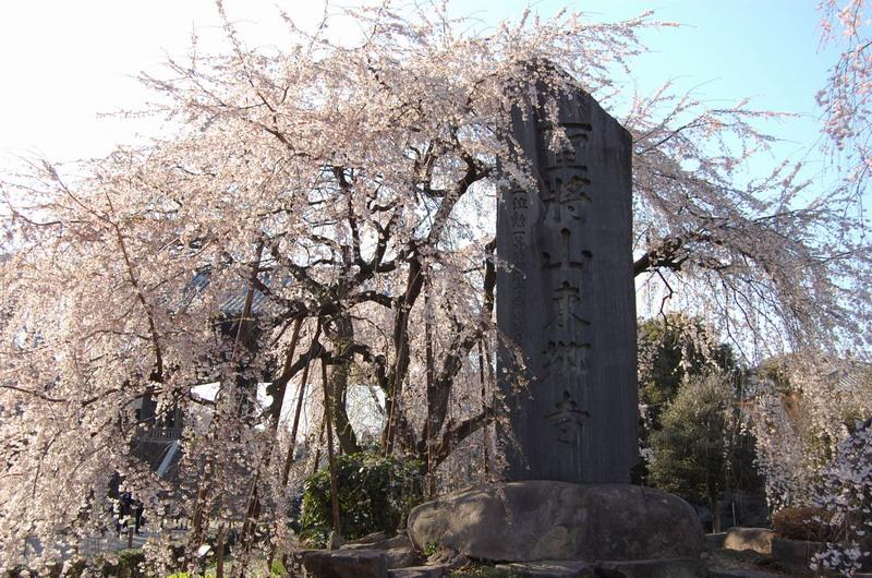 東郷寺枝垂桜1