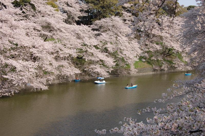 千鳥ヶ淵桜9