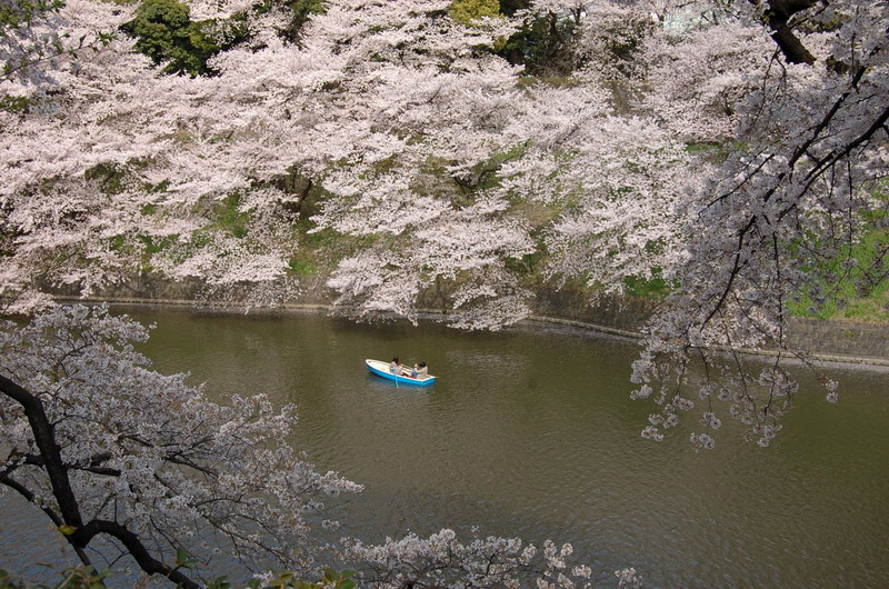 千鳥ヶ淵桜12