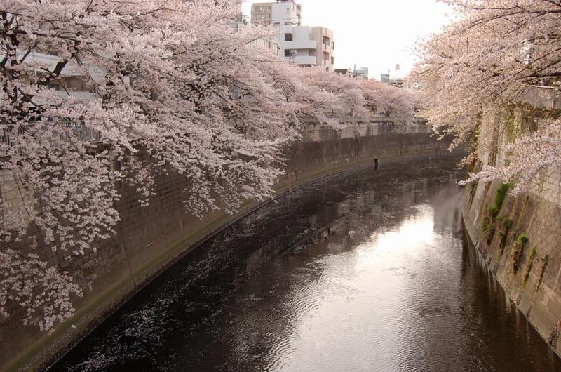 江戸川公園桜3