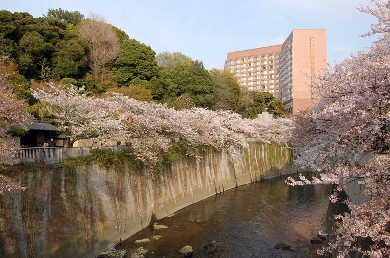 椿山荘あたりの桜4