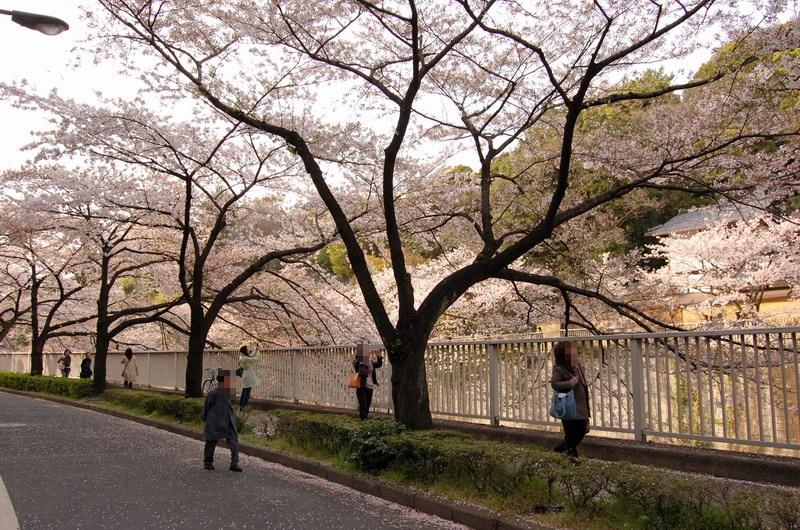 椿山荘あたりの桜3