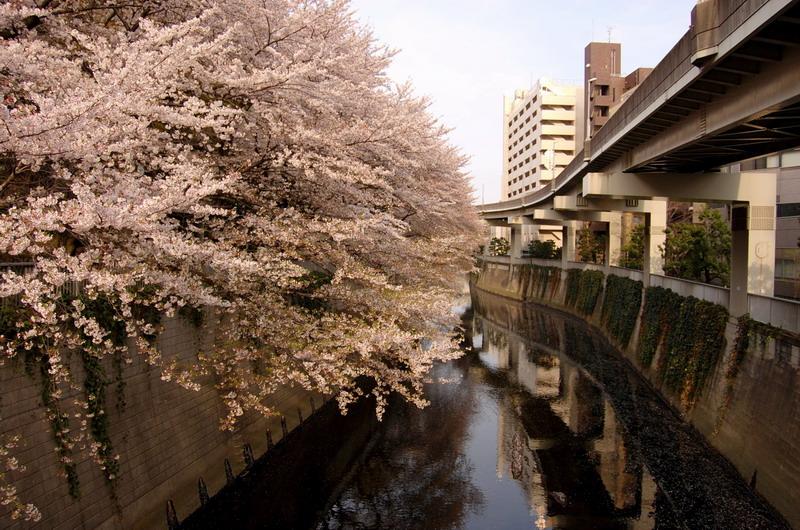 江戸川公園桜2