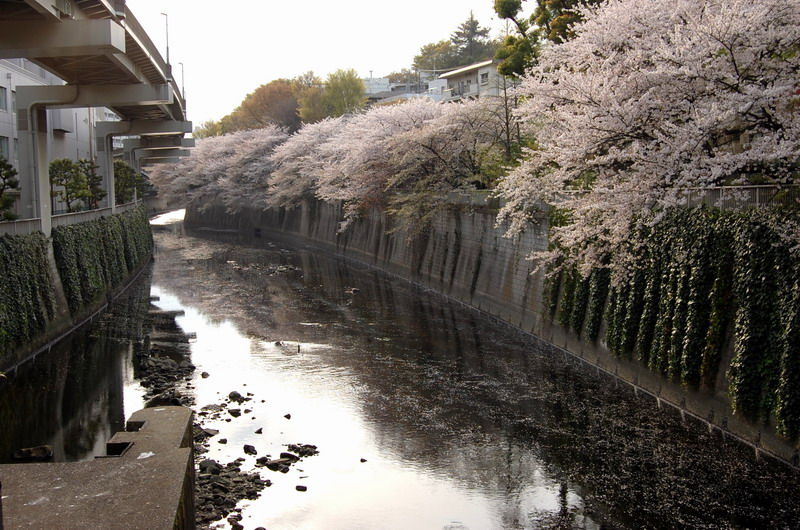 江戸川橋桜1