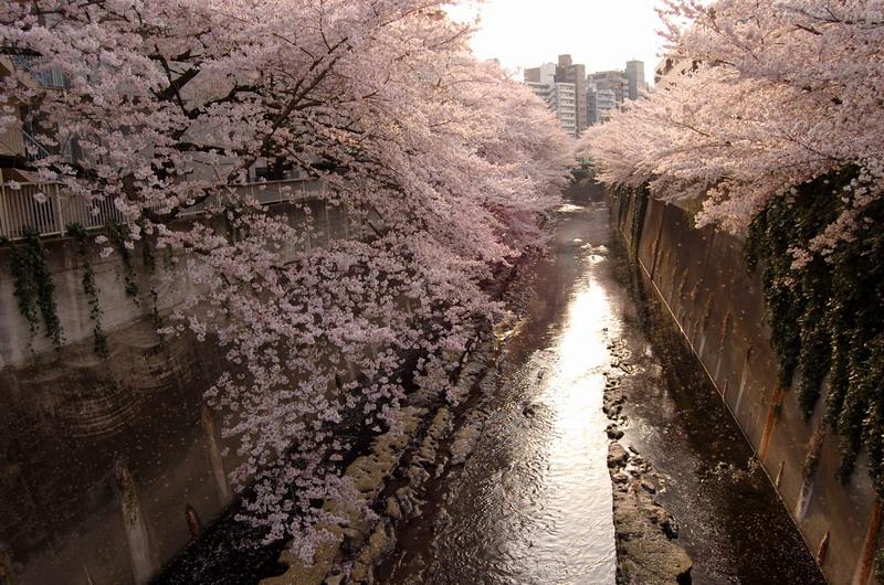 早稲田桜2