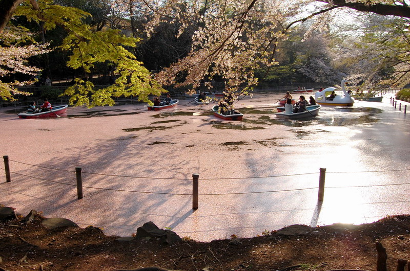 井の頭桜池1