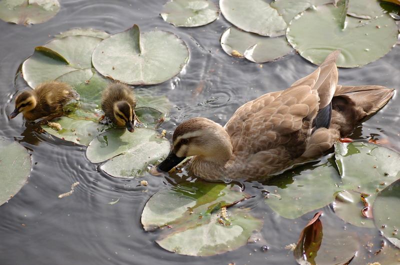 鴨の親子4