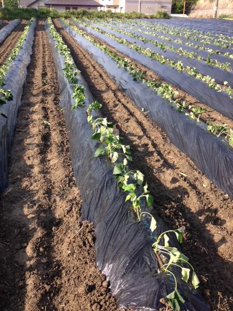 サツマイモ植え付け直後