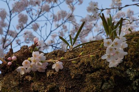 sakura-macro2.jpg