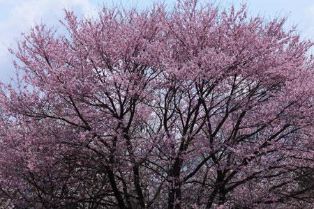 sakura-pink.jpg