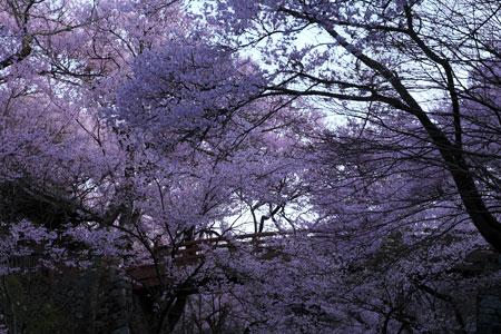 sakura-takatoh-2.jpg