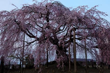 sakura-yoake.jpg