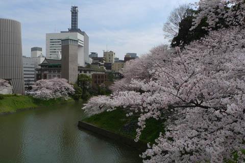 千鳥ヶ淵桜0