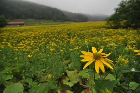 厚岸黄色い花