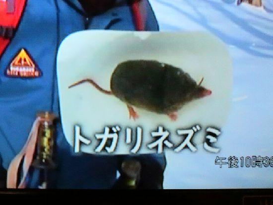 トガリネズミの写真