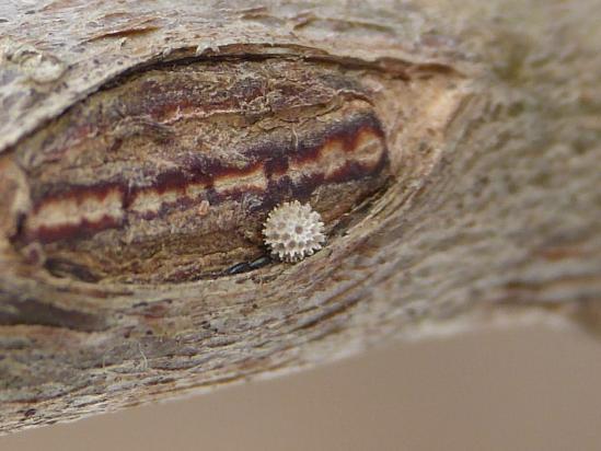 ミズイロオナガシジミの越冬卵