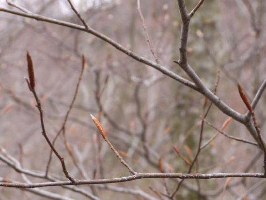 ブナの冬芽