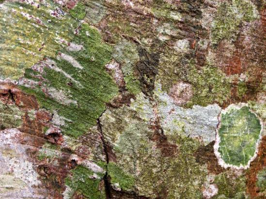 ブナの木肌