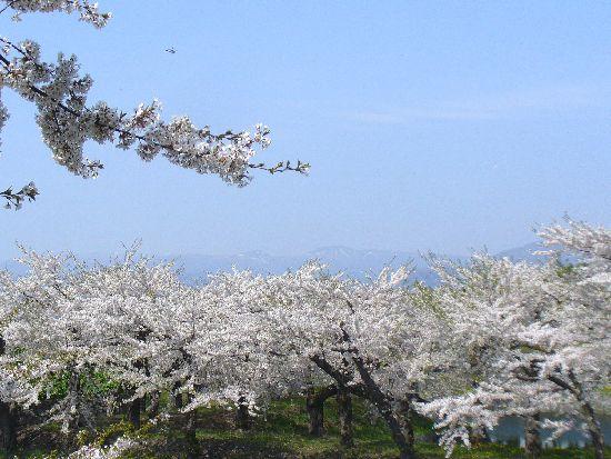 五稜郭のサクラと横津連峰