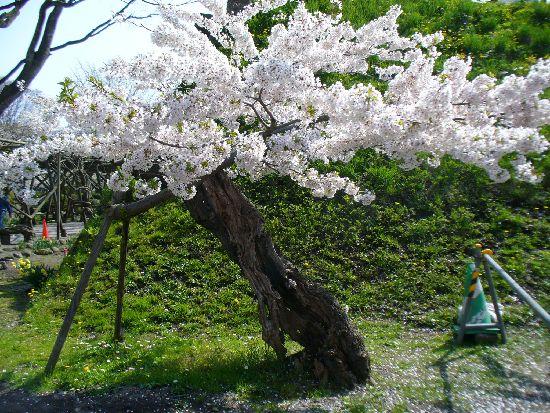 枯れ木に花