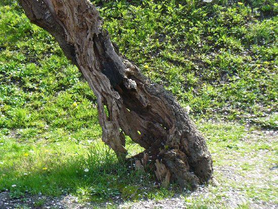 枯れ木の根元