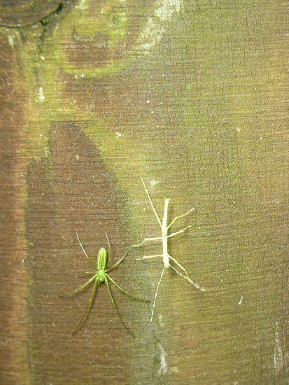 シラキトビナナフシとクモ