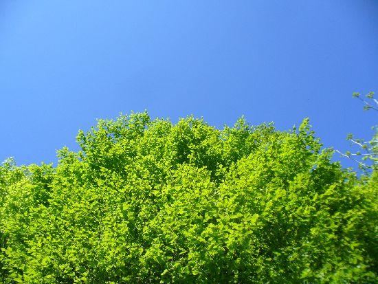 新緑のブナの木